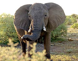 African elephant, front-on view
