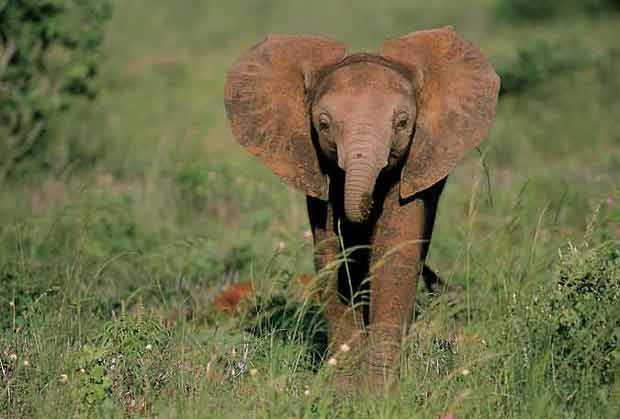 Elephant calf with ears outstretched