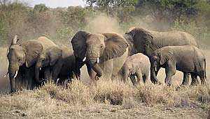 Elephant breeding herd