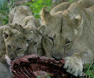 Lioness and cubs feeding on warthog
