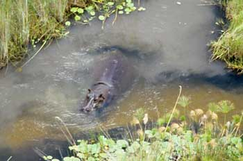 Hippo in channel, Okavango Delta, Botswana