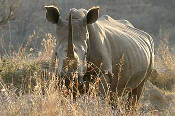 Rhino in winter grass, Weenen Game Reserve, South Africa
