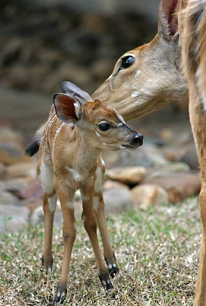 Baby Nyala Antelope with Mother