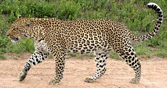 Leopard full figure, side view