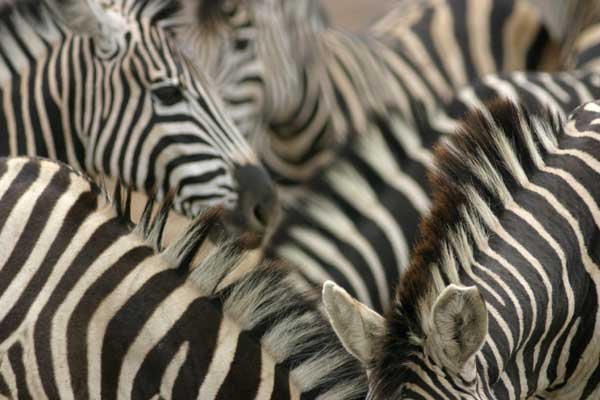 Zebra group, close-up