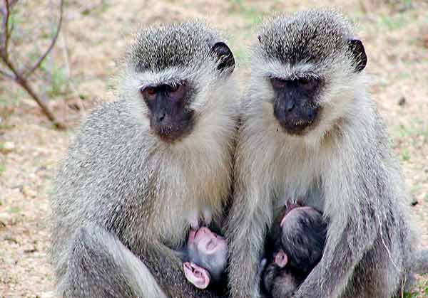 Monkeys suckling their young