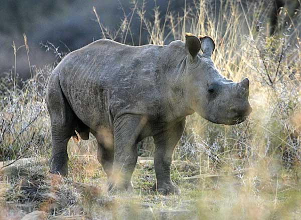 Baby Rhino Picture