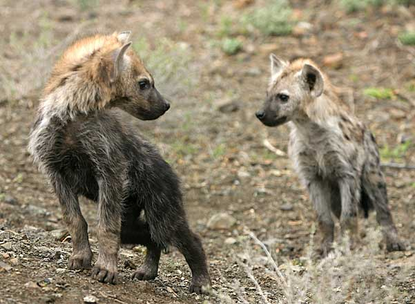 Picture of baby hyenas