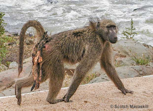 Baboon mother carrying remains of dead baby