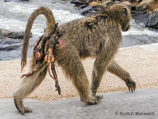 Chacma baboon mother carrying remains of dead infant on her back