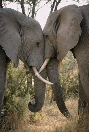 Elephants leaning against each other