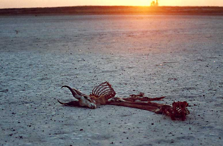 Springbok skeleton on Botswana salt pans