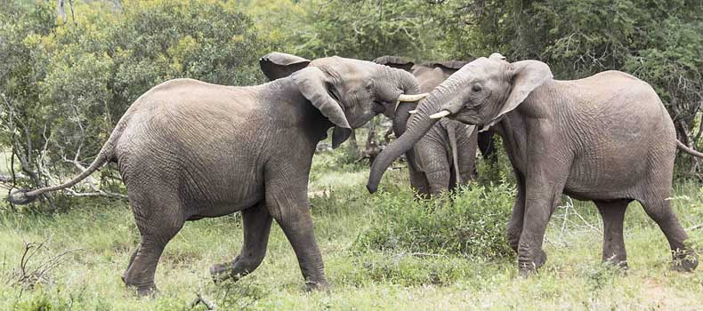 Elephant pair testing each other's strength, Kruger National Park, South Africa