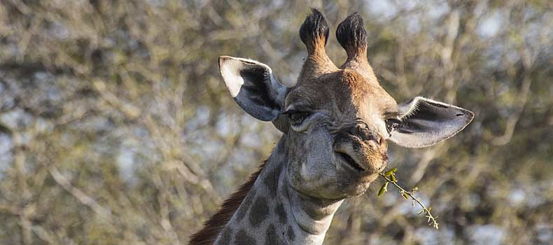 Giraffe swallowing twig, Kruger National Park, South Africa