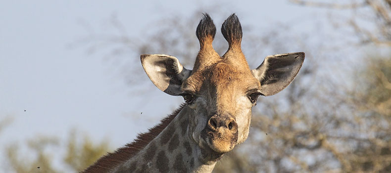 Giraffe head and neck against skyline, Kruger National Park, South Africa