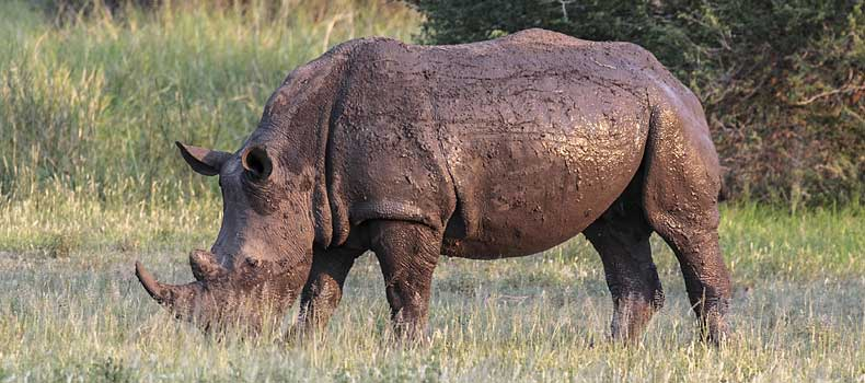 White rhino grazing, Kruger National Park, South Africa