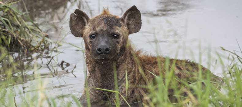 Spotted hyena cooling off in waterhole, Kruger National Park, South Africa