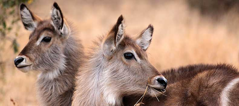 Pair of waterbuck females, Kruger National Park, South Africa