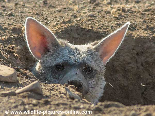 Aardwolf Peers from Burrow, Mashatu Game Reserve, Botswana