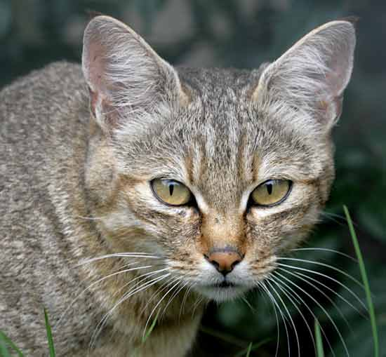 African wild cat, close-up