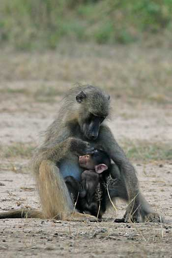 baboon suckling its baby