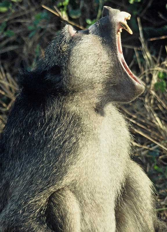 Baboon showing its teeth