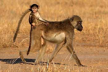 baby baboon riding on mother's back