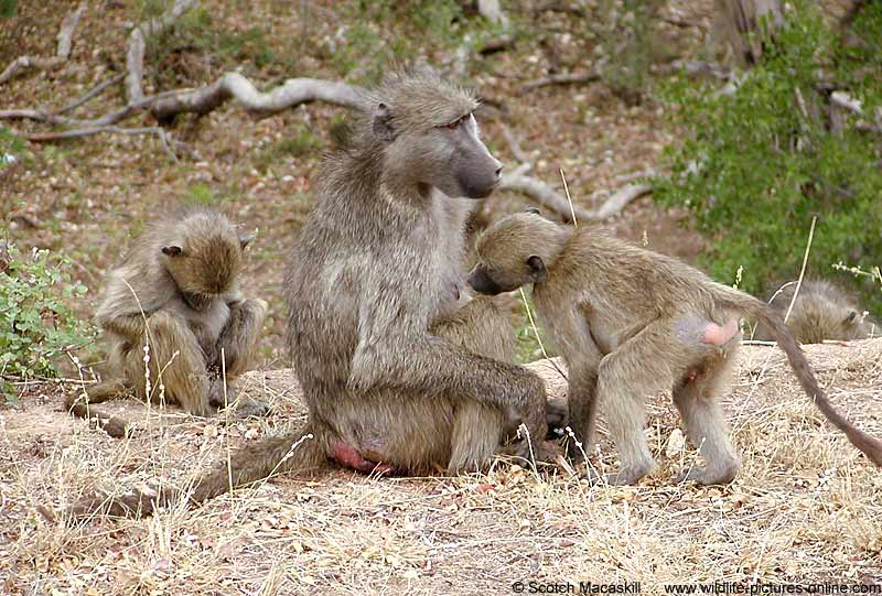 Baboon group