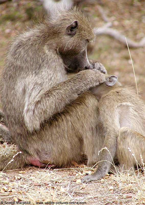 Baboon grooming youngster