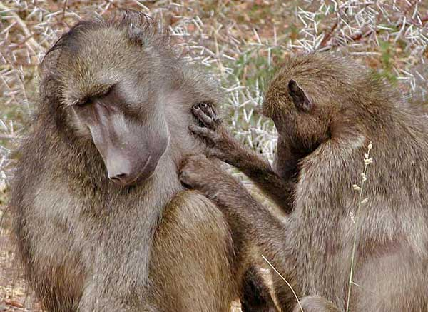 Baboon grooming member of troop