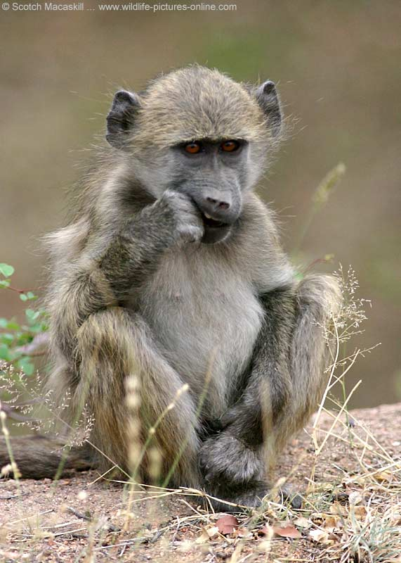 baboon with hand in mouth