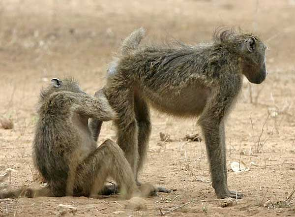 baboon checking another's rear end