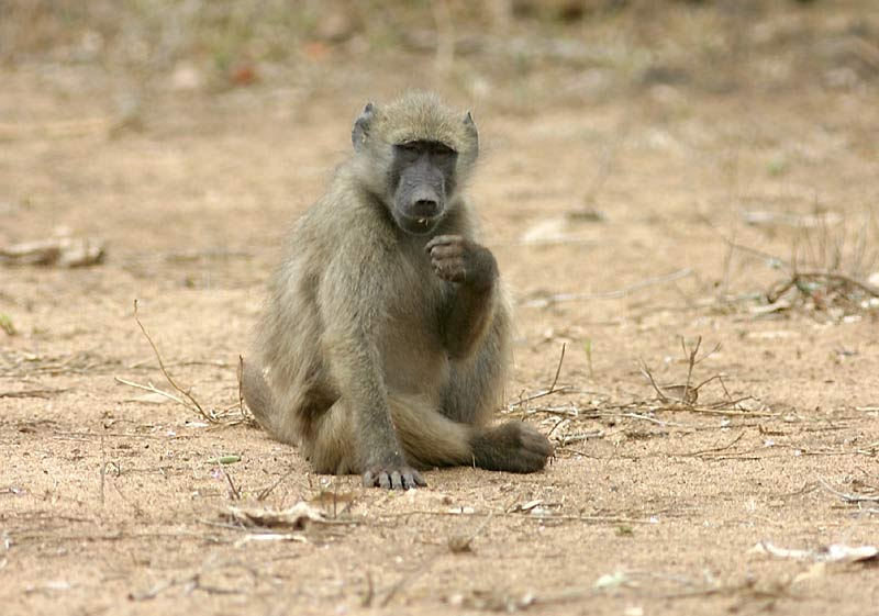 baboon foraging for insects