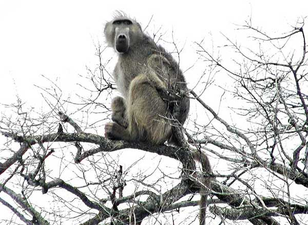 Baboon Sitting High in Tree