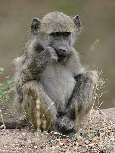 Baboon seated, Kruger National Park