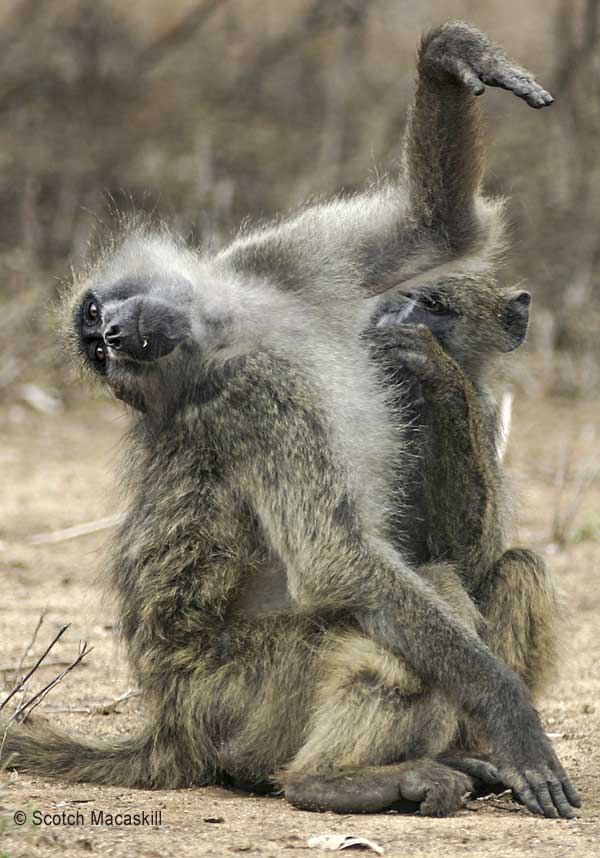 Baboon Armpit Inspection