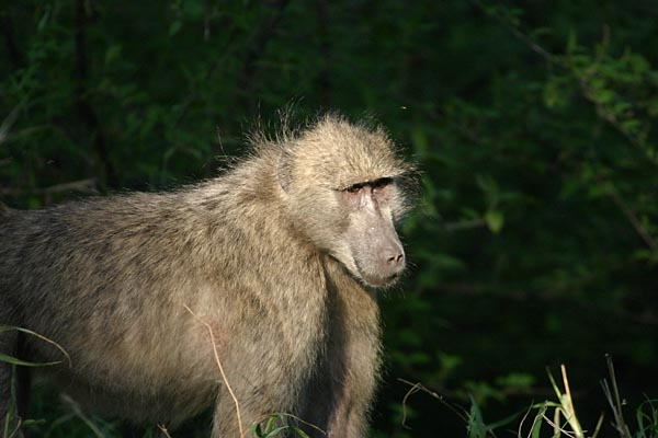 Baboon against forest background
