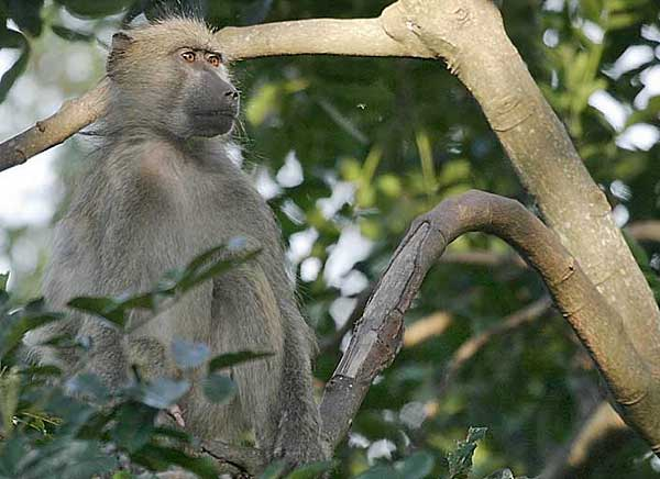 Baboon perched in tree