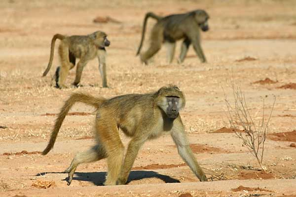 Baboons on the move, Lower Zambezi National Park