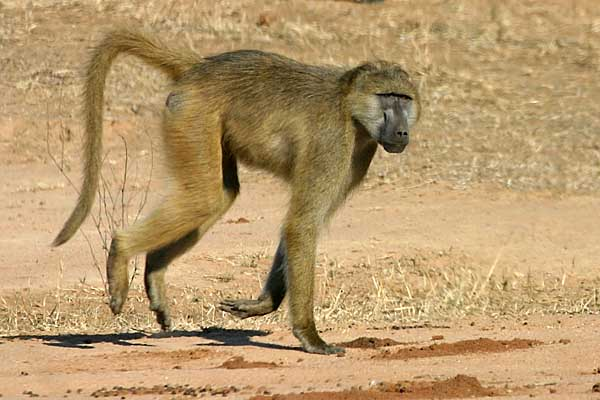 Baboon loping, Lower Zambezi National Park
