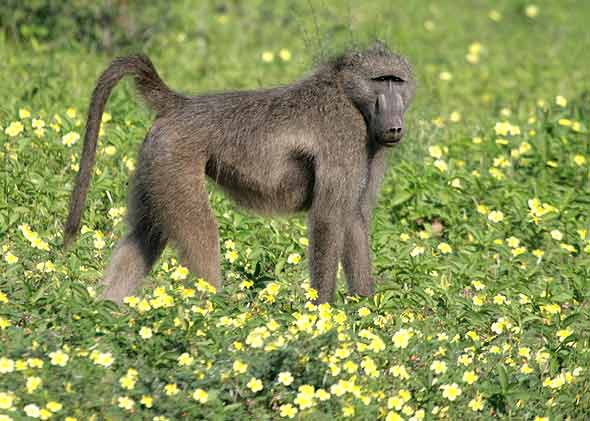 Baboon in field of flowers