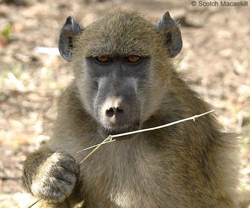 Baboon with grass stem