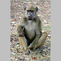 Seated baboon