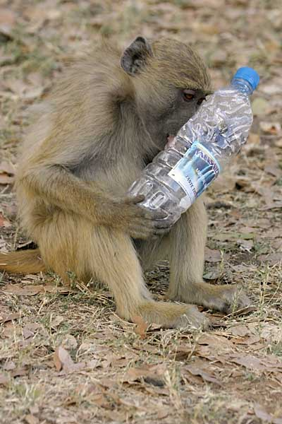 Baboon youngster with plastic bottle