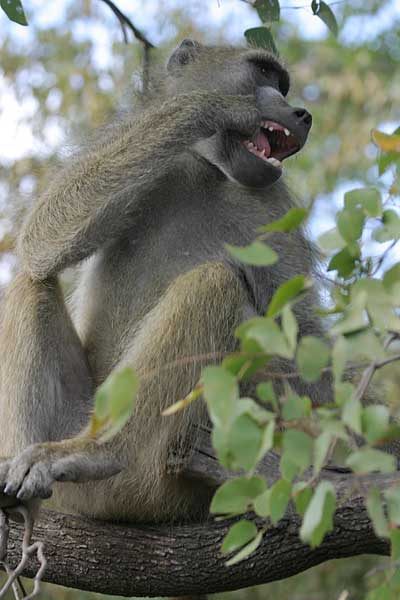 Baboon sitting in tree