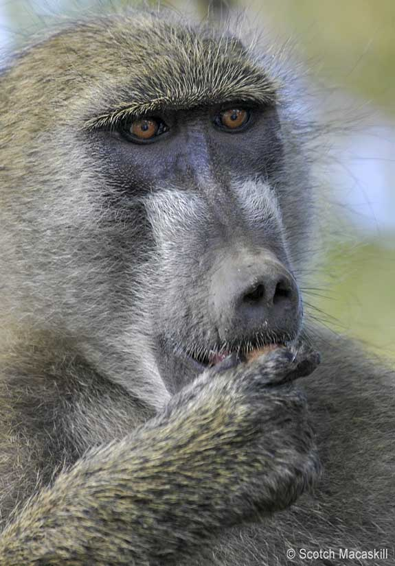 Baboon eating seed pod