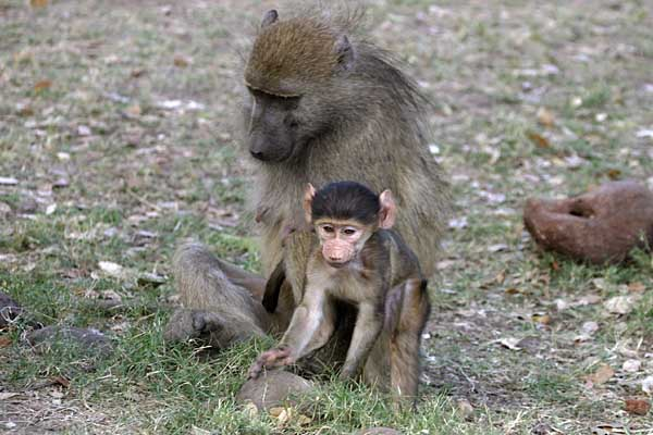 Baboon mother with baby