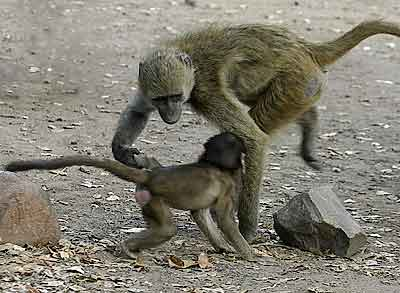 Mother with baby baboon