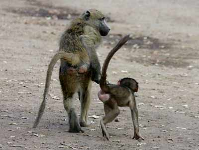 Baby baboon and mother