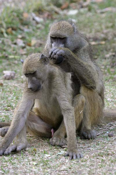 Baboon pair grooming each other
